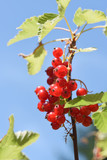red currants on a branch against the clear blue sky, fresh organic fruits growing in the garden, vertical, selected focus, narrow depth of field - 211191221