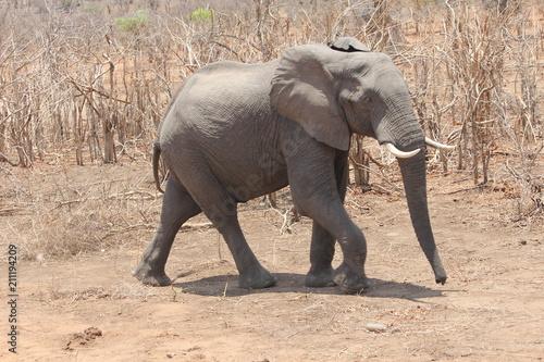 Fototapeta Elephant in dry grass