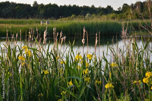 Fotobehang Iris Blossom yellow iris flowers