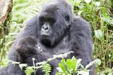 Female Gorilla with baby in Rwanda - 211201896