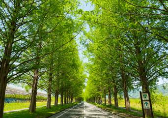 滋賀県高島市の春のメタセコイア並木 © 康明 糸数