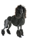 black standard poodle © cynoclub
