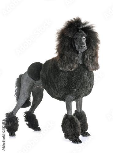 black standard poodle - 211221433