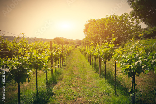 Viiew of vineyard with grapes © Vincenzo De Bernardo