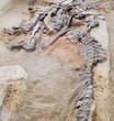 Fossil bones of Hadrosaur Alberta Canada