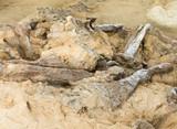 Petrified bbones of Hadrosaur Alberta Canada