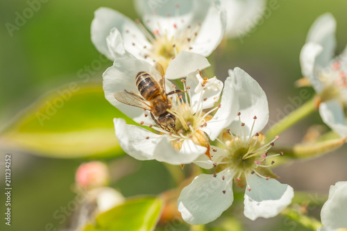 Bee on a flower of the white  blossoms. A Honey Bee collecting pollen - 211234252