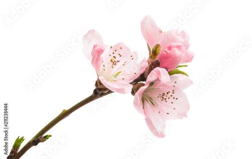 Fototapeta sakura flowers isolated