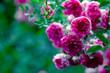 Leinwanddruck Bild - Macro of rose flower bush