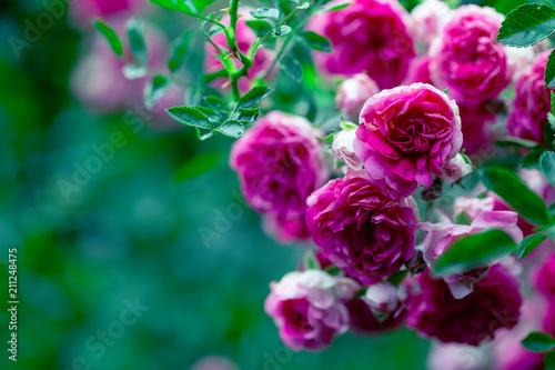 Leinwanddruck Bild Macro of rose flower bush
