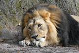 Löwe (Panthera leo) Captive, Deutschland, Europa