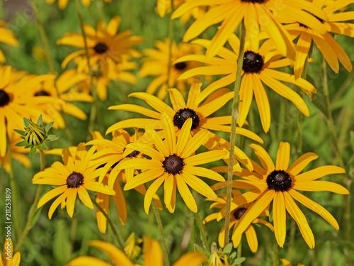 Blühender Sonnenhut, Rudbeckia fulgida - 211253809