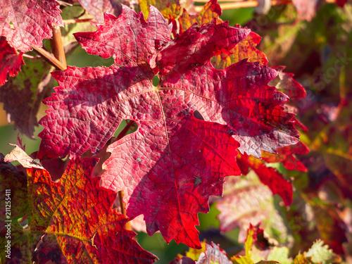 Aluminium Wijngaard Rotes Weinblatt im Herbst