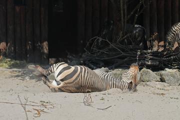 Zebra im Sand