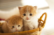 Leinwanddruck Bild - two small ginger kitten in the basket in home