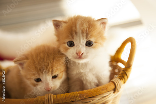 two small ginger kitten in the basket in home - 211259024