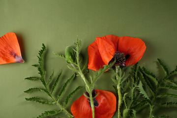 Flower concept poppy petal