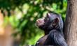 Leinwanddruck Bild - Chimpanzé
