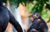 Chimpanzé - 211263809