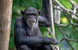 Chimpanzé - 211263855