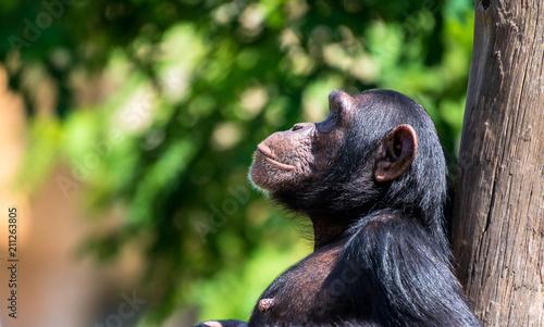 Leinwanddruck Bild Chimpanzé