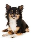 Chihuahua auf weißem Grund