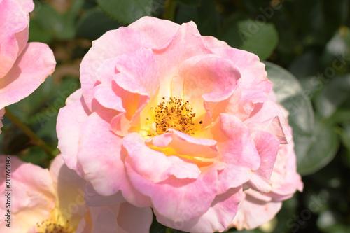 Fotobehang Lichtroze 薔薇(エル)