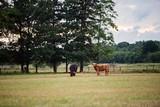 Scottish Highland Cattle cows grazing
