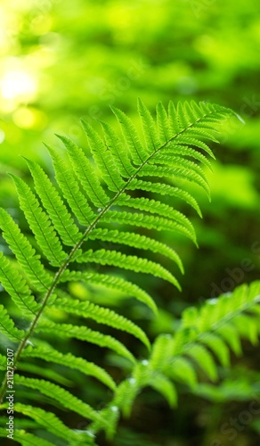 Ferns (Polypodiophyta) are a detachment of sprue vascular plants, or Pteridophyta, whose representatives are widely distributed throughout the Earth.