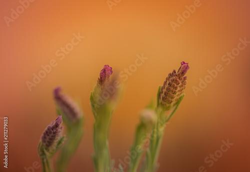 Fotobehang Lavendel plante lavande fleur violette en couleur et en gros plan rapproché