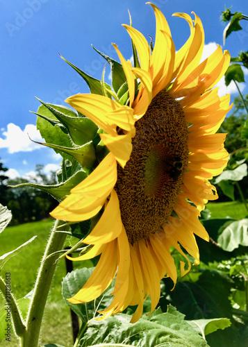 Sunflowers_IMG_4299