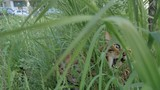 Bengal cat walks in the grass. He shows different emotions. The view of the animal is very close to the grass. This cat eats weed. - 211300655