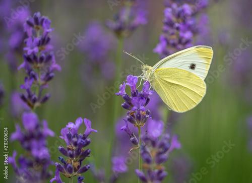 insecte papiloon seul blanc sur une fleur violette lavande en gros plan - 211300634