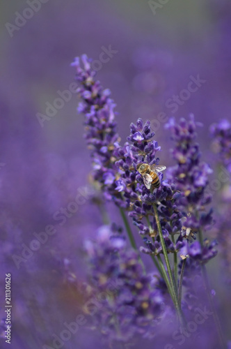 A honey bee is on a lavender flower getting nectar. The plant is a beautiful lavender color. © Vivita