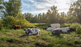 Picturesque still life with quietly ruminating cows of different breeds - 211354867