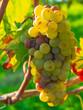 Weintrauben am Rebstock uim Herbst
