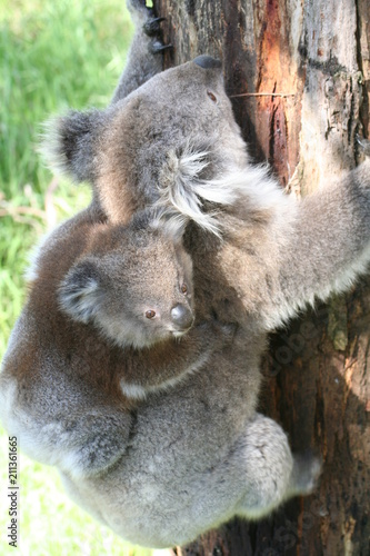 Fotobehang Kangoeroe Koala Joey On Mothers Back on a tree branch, Australia