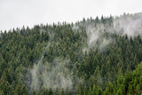 Foggy Pine Forest. Dense pine forest in morning mist. - 211362267