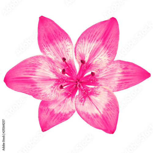 Flower pink  white  lily isolated on white background. Close-up. Element of design. - 211364257