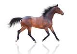 Bay horse runs trot on white background - 211367094