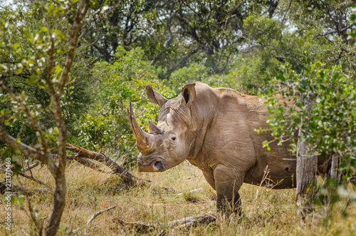 Plexiglas Neushoorn Rhinoceros,Kruger National Park, South Africa