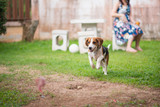 beagle dog running on the grass floor - 211374030