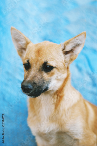 Little red-haired dog sits on a blue background - 211376873