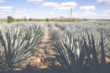 Cactus plants for tequila making. Image has a vintage effect applied. - 211377200