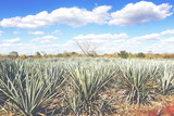 Cactus plants for tequila making. Image has a vintage effect applied. - 211377236