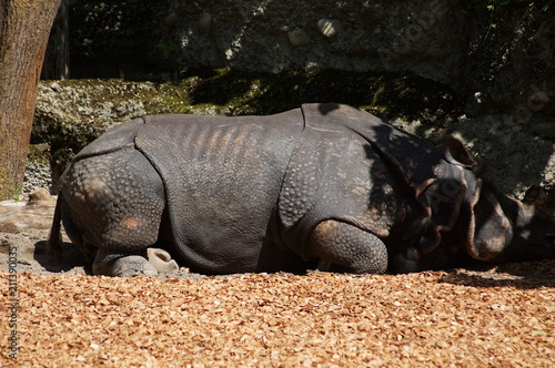 Fotobehang Neushoorn Rhino in a zoo