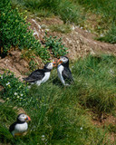 Colorful Atlantic Puffin or Comon Puffin Fratercula Arctica in Northumberland England on bright Spring day - 211402207