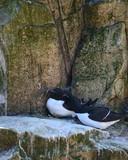 Lovely mated pairs of razorbill birds Alca Torda in Northumberland - 211402223
