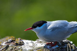 Lovely Arctic Tern Sterna Paradisaea peched on wall in bright Spring sunshine - 211402257