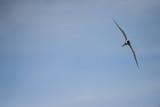 Lovely Arctic Tern Sterna Paradisaea in flight in blue sky - 211402292